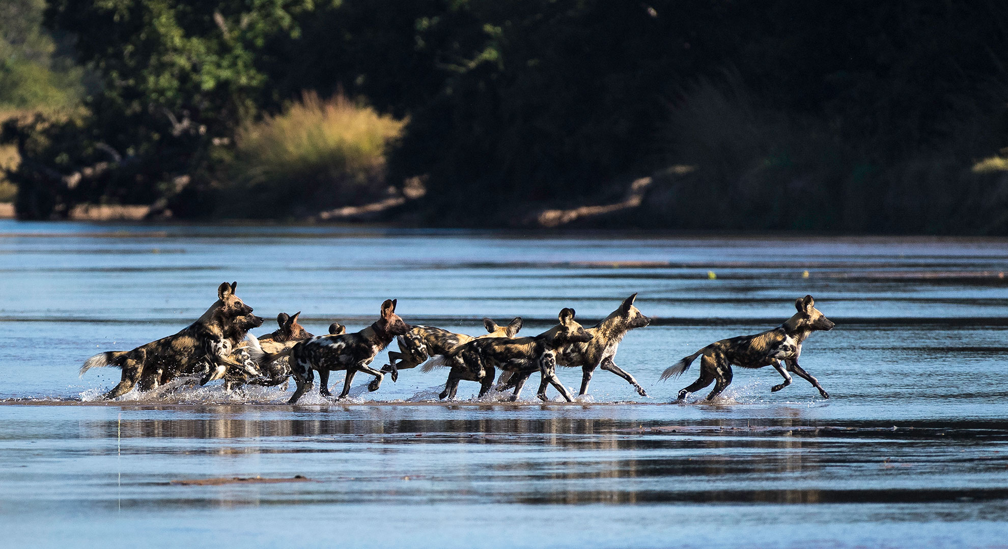 THE-BUSHCAMP-COMPANY---Mfuwe-Lodge---wild-dogs-in-the-river
